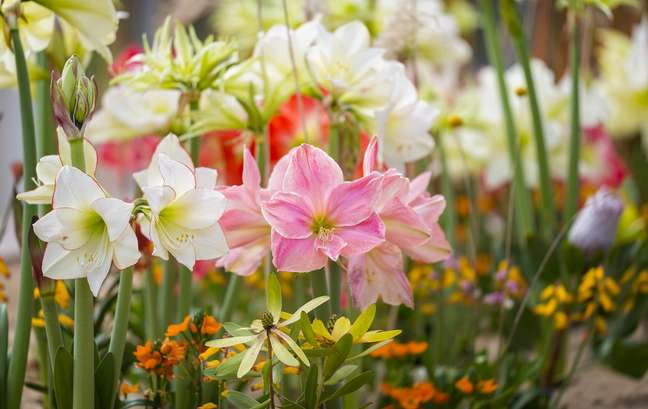 5. Jardim com flores do tipo amaryllis em várias cores – Foto iStock