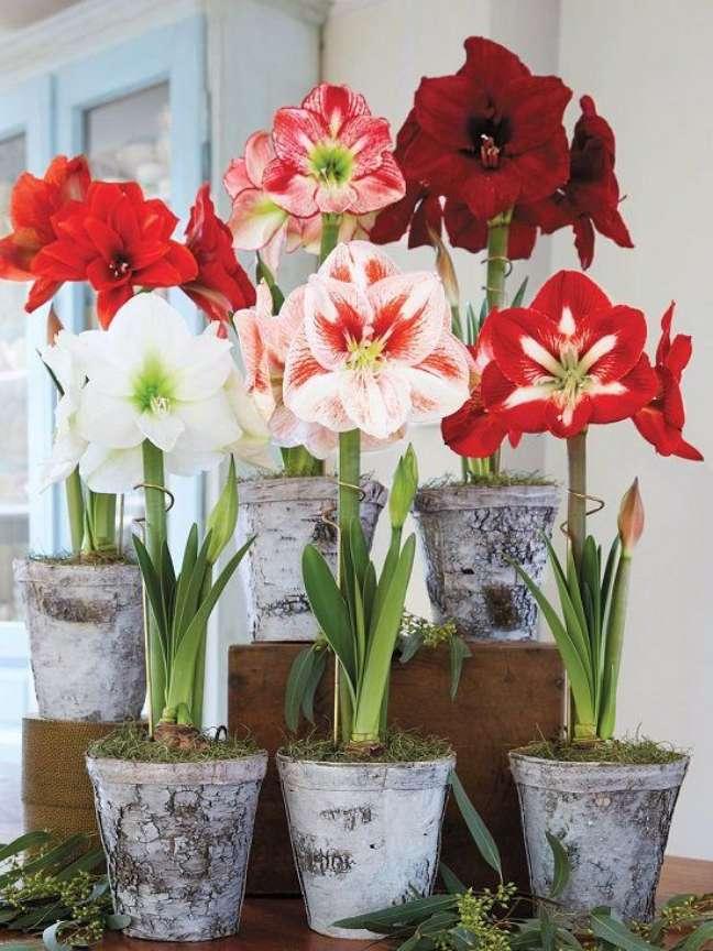 14. Vasos de amarilis de diferentes tons de vermelho e branco – Foto Balcony Garden Web