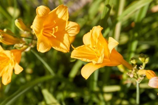 7. Amarilis amarelas no jardim – Foto Freepik