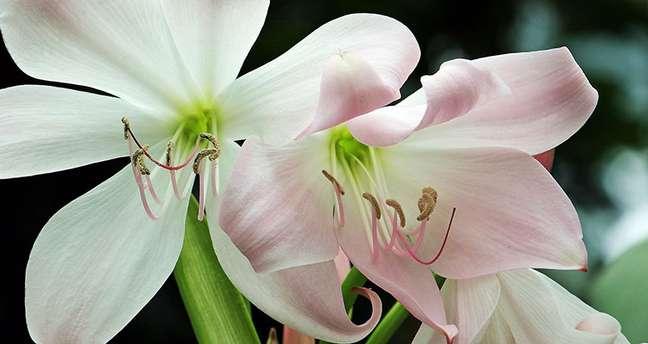 22. Flor amarilis branca com detalhes cor de rosa – Foto S Hermann e F Richter no Pixabay