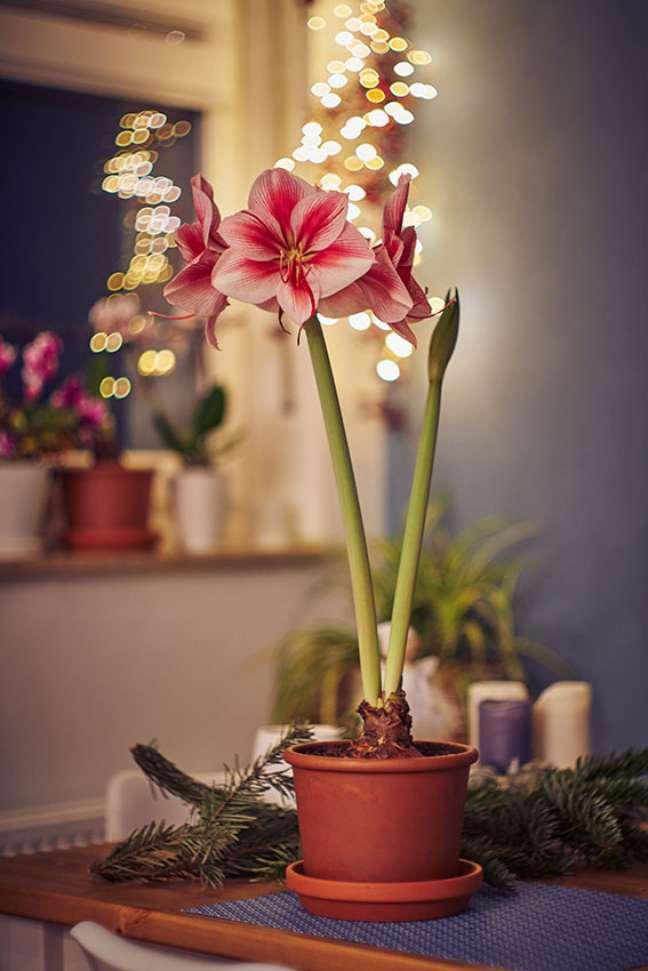 8. Flor amarílis rosa no vaso – Foto Adobe Stock