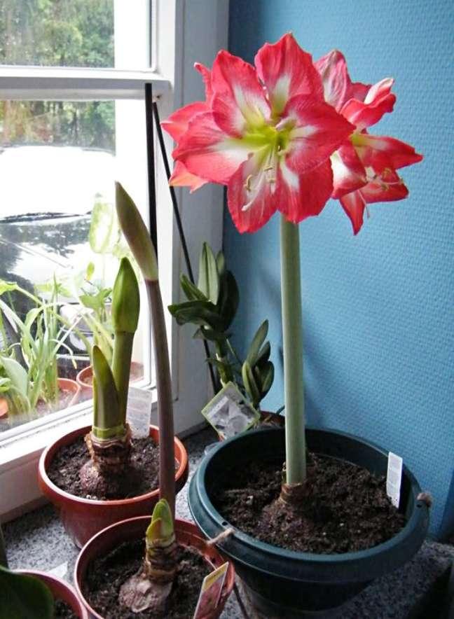 18. Amarílis rosa perto da janela iluminada – Foto White Flower Farm