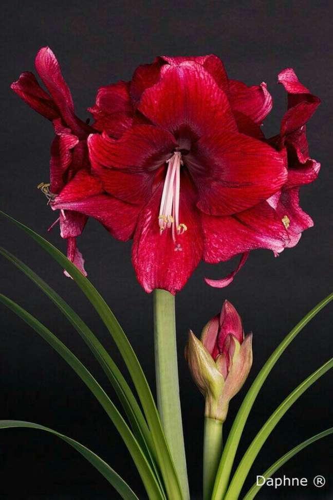 26. Flor amarílis vermelha – Foto Daphne