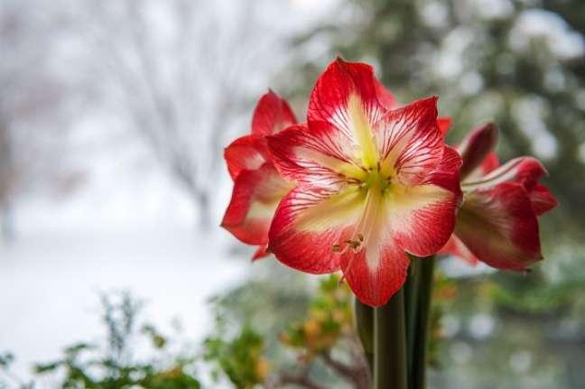 4. Flor branca e vermelha de amaryllis – Foto iStock