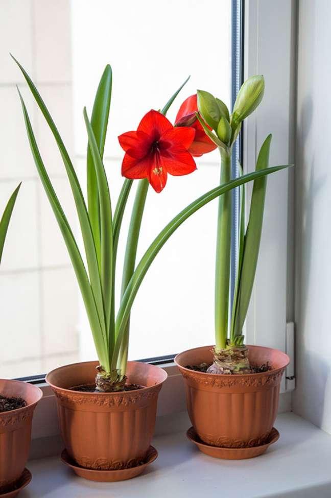 10. Janela decorada com vaso de flor amarilis vermelha – Foto Adobe Stock