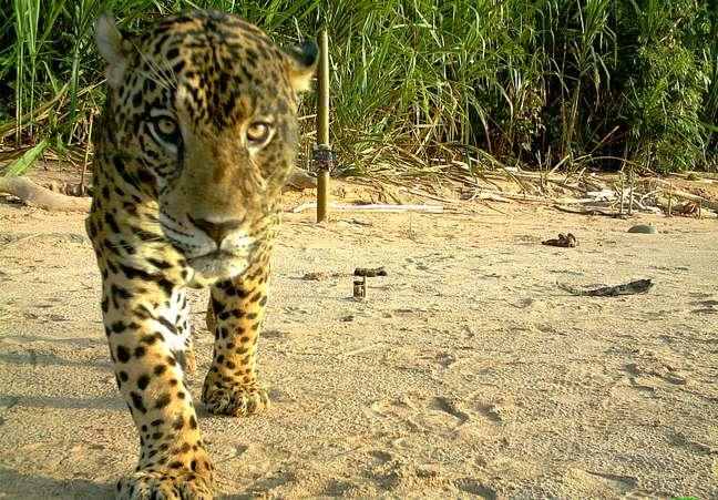 O Parque Nacional de Madidi é refúgio para muitas espécies como a onça-pintada