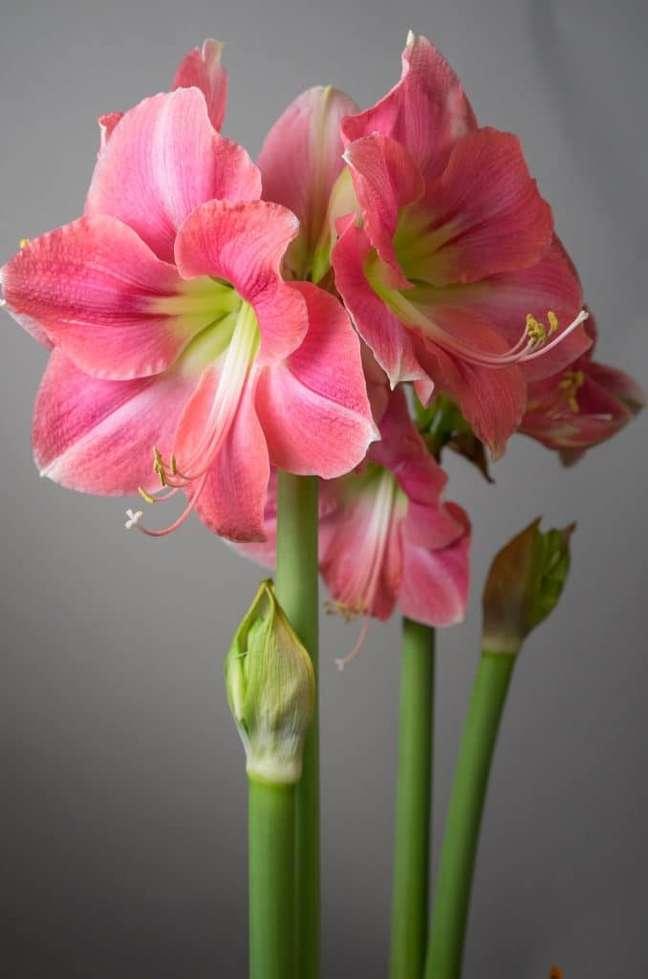 23. Flor amarílis rosa com miolo verde – Foto Color Blends