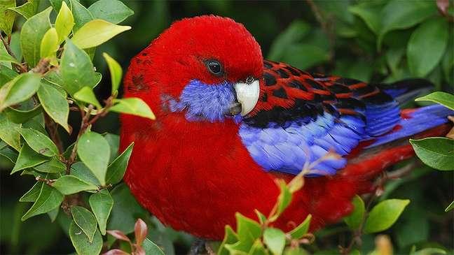 Os bicos dos papagaios australianos estão ficando maiores com o aumento da temperatura