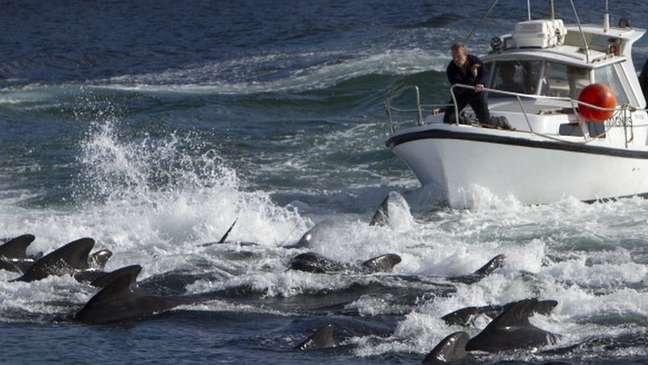 A caça de golfinhos e baleias (como nesta imagem de arquivo) é uma prática tradicional nas Ilhas Faroé