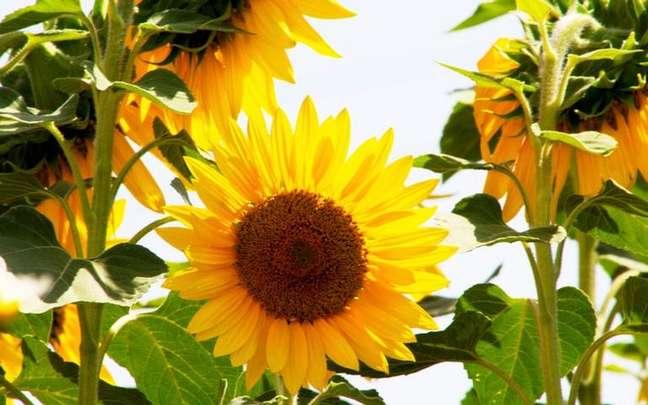 Descubra quais flores trazem mais sorte para a sua vida - Shutterstock.