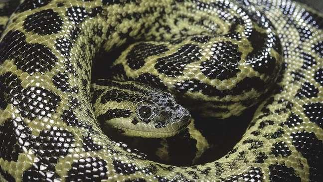 Uma sucuri-amarela; depois do asteroide, cobras se diversificaram em habitats e presas
