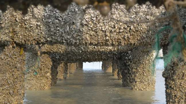 Ostras cresceram espontaneamente em pilares de concreto