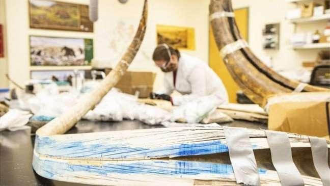 Fósseis de mamute em laboratório; há muitos restos bem preservados destes animais na Sibéria