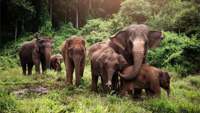 Os elefantes asiáticos são parentes próximos do extinto mamute lanoso