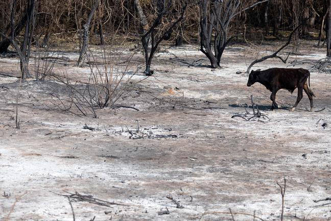 Vaca passa por área queimada com o chão ainda quente em busca de abrigo