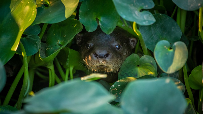 Lontra em um corixo (canais que se formam na cheia do Pantanal) que ainda tem água na região do Pantanal