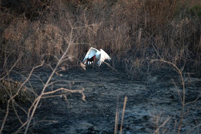 Tuiuiú foge da área queimada no quilômetro 100 da Transpantaneira