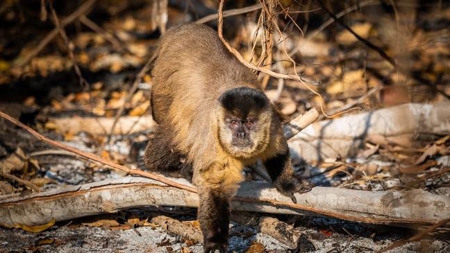 Macaco-prego em meio às cinzas de uma região tomada pelo fogo