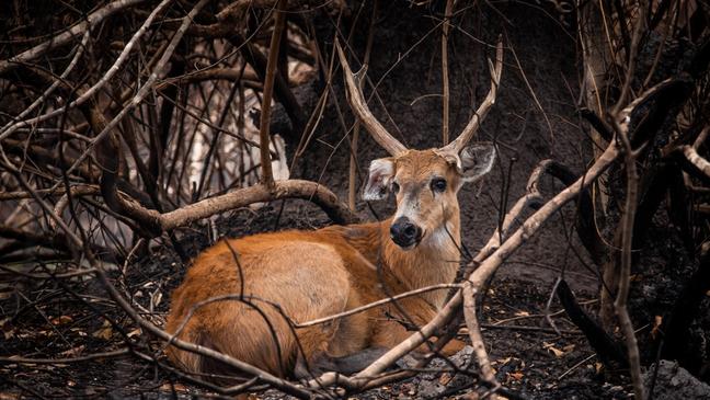 Cervo-do-Pantanal em meio à vegetação queimada. Segundo voluntários, animal aparentava estar debilitado