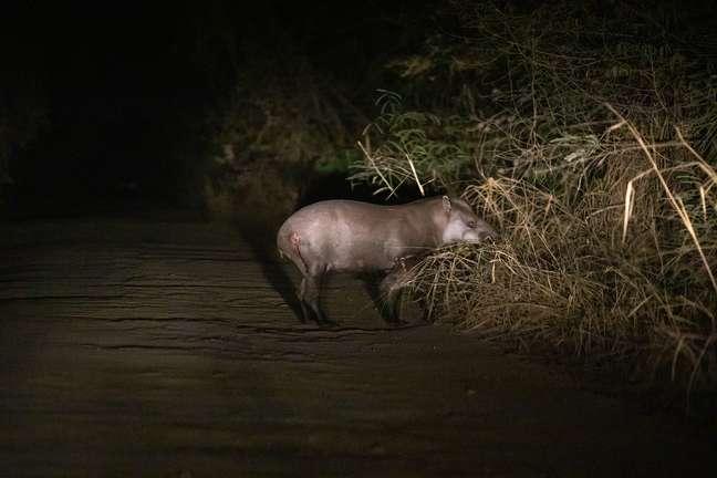 Anta ferida pelos incêndios foi avistada na região do Pantanal junto com um filhote