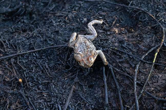 Sapo morreu enquanto tenta escapar do fogo