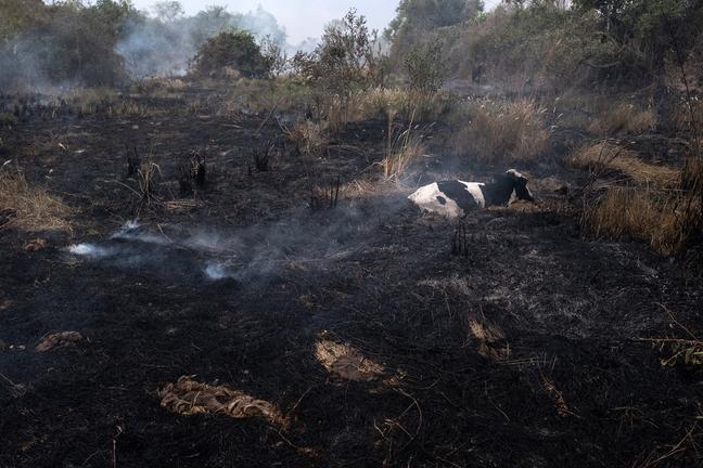 Vaca presa pelo fogo espera por resgate de brigadistas e veterinários no Pantanal