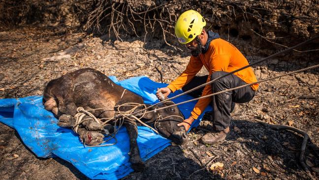 Voluntários do GRAD resgatam um bezerro com as quatro patas queimadas.