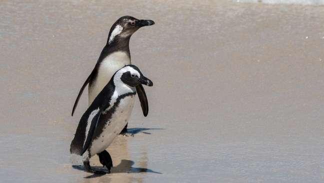 Populações de pinguins africanos estão diminuindo rapidamente