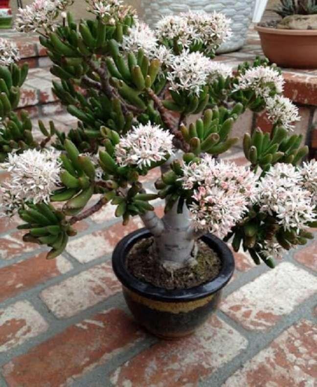 5. Suculenta orelha de shrek da flor. Fonte: Planta Sonya