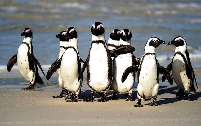 Pinguins africanos em praia nas proximidades da Cidade do Cabo