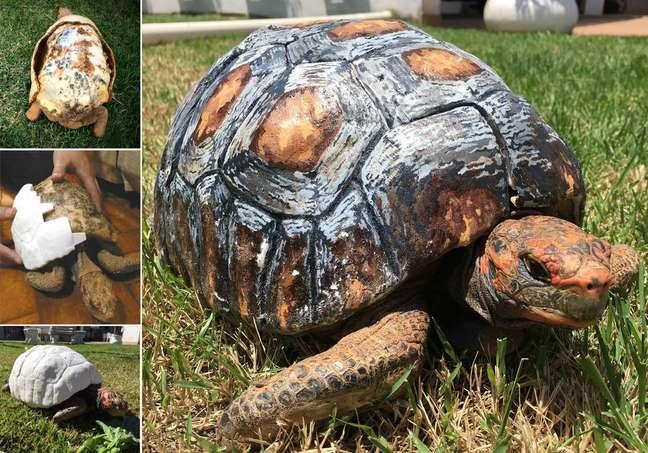A jabota Freddie teve o casco reconstruído por tecnologia 3Dapós perder 85% de sua superfície em um incêndio no Cerrado