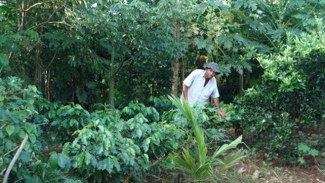 Agricultor trabalha em sistema agroflorestal, onde não há prática de revolver o solo