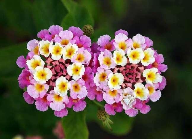 59. Tipos de flores lantana – Foto: Sitio da Mata