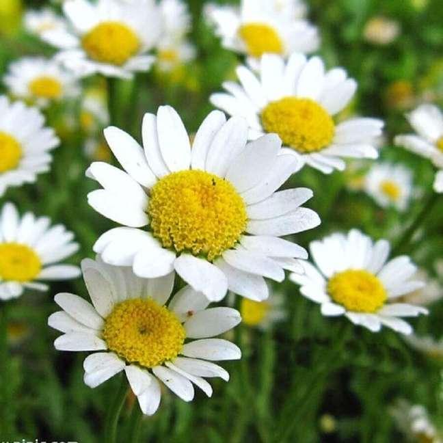 33. A margarida são tipos de flores muito conhecidas Foto iStock