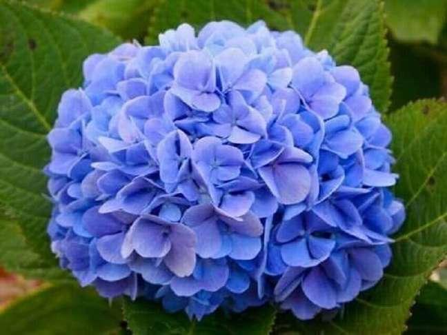 20. A hortênsia são tipos de flores que gostam de frio e devem ser cultivadas em regiões de altitude Foto Mercado Livre