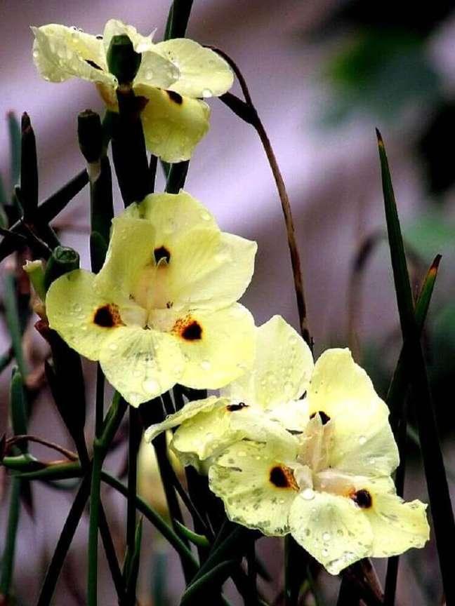 30. A moréia são tipos de plantas consideradas rústicas Foto Canoa Garden