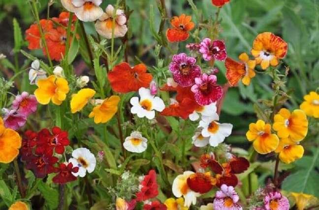 54. Tipos de flores nemésia – Foto: SoFlor