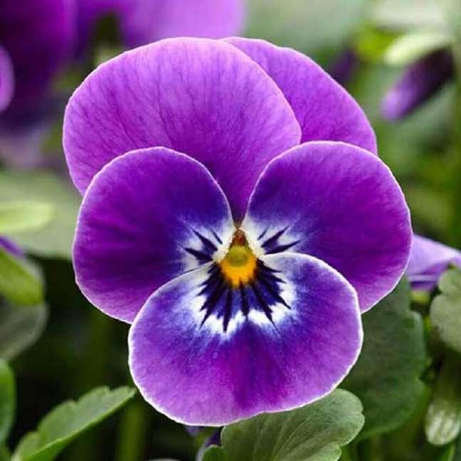 3. Os tipos de flores amor-perfeito podem ser cultivadas tanto em jardins quanto em vasos – Foto Terra Arte