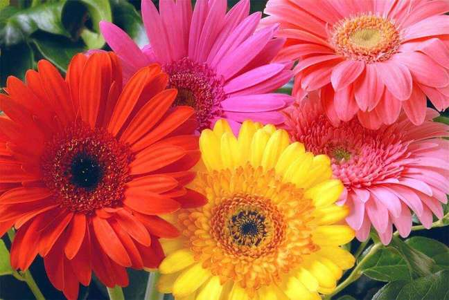 18. As fotos de plantas gérberas sempre são lindas e super coloridas Foto Cultura Mix