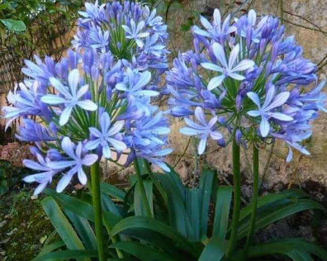 49. O agapanto também é conhecida pelo nome de flores do amor Foto Mercado Livre