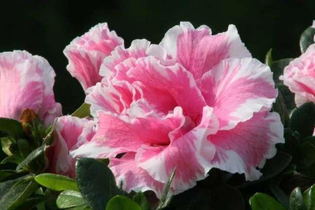 4. A azaléia são tipos de flores que se adaptam bem ao inverno – Foto Mercado Livre