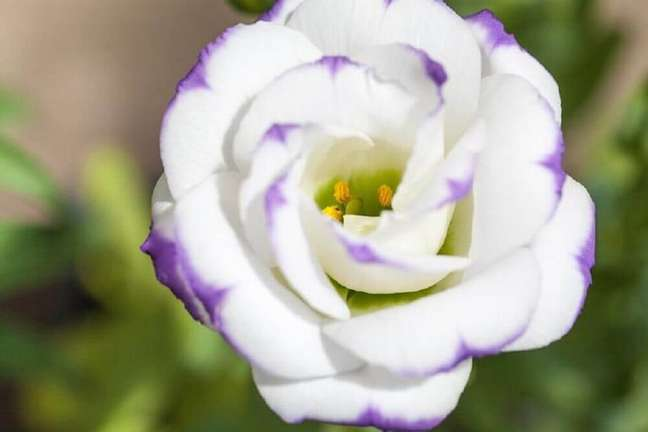 27. Linda fotos de plantas lisianto – Foto Shutterstock