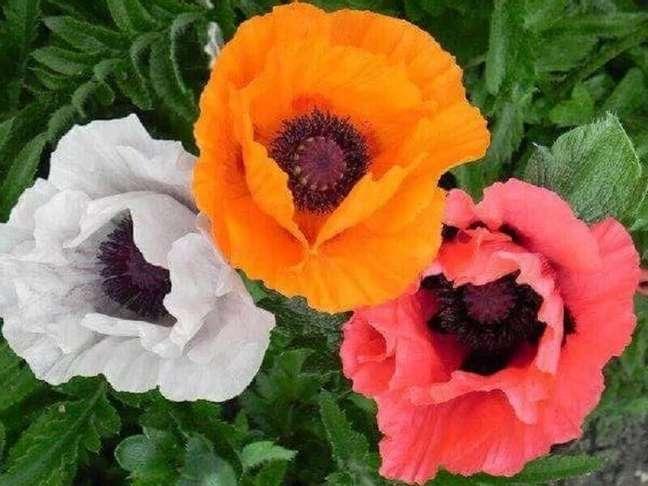 53. Tipos de flores papoulas – Foto: Blog das Flores