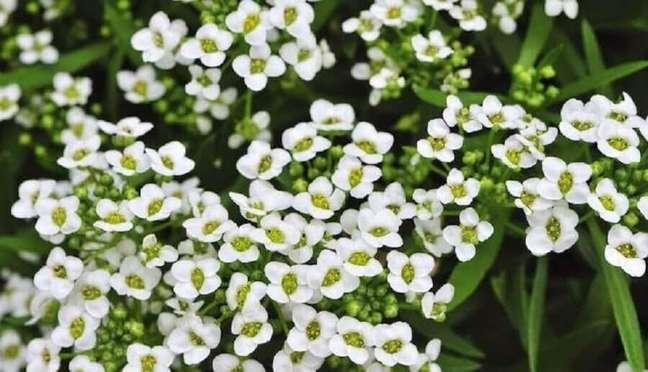 50. O alisso também é conhecida pelo nome flor-de-mel devido ao seu perfume Foto iStock