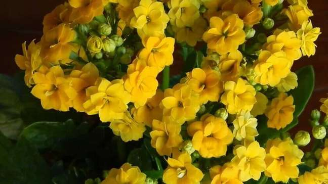 25. O kalanchoê são tipos de flores consideradas tóxicas – Foto Mercado Livre