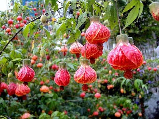 58. Tipos de flores lanternas chinesas – Foto: PlantaSonya