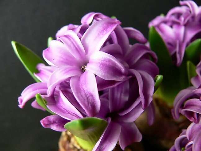 29. É possível encontrar mais 60 tipos de flores de jacinto – Foto Fox Flores