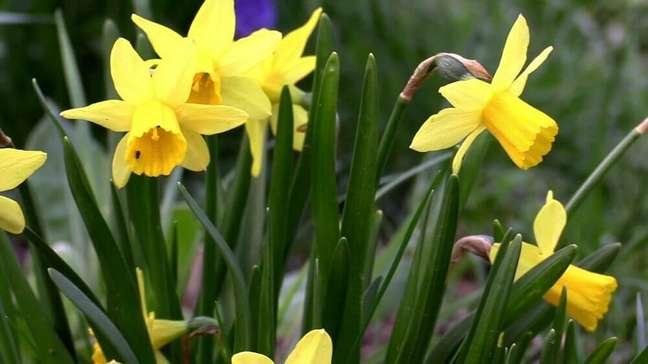 34. O narciso é sempre lembrado pela sua coloração amarela Foto Pixabay