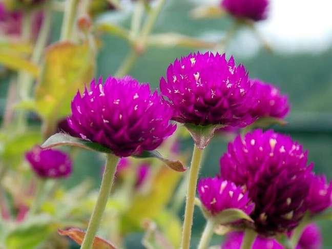 38. A perpétua são tipos de flores que se adaptam bem tanto ao frio quanto ao calor Foto Sitio da Mata