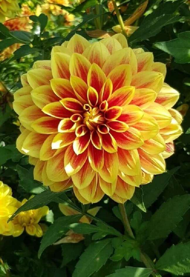 60. Tipos de flores dália – Foto: Pixabay
